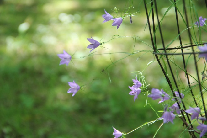 Delicate native harebells (Campanula rotundifolia) bloom into autumn and are loved by bumblebees.