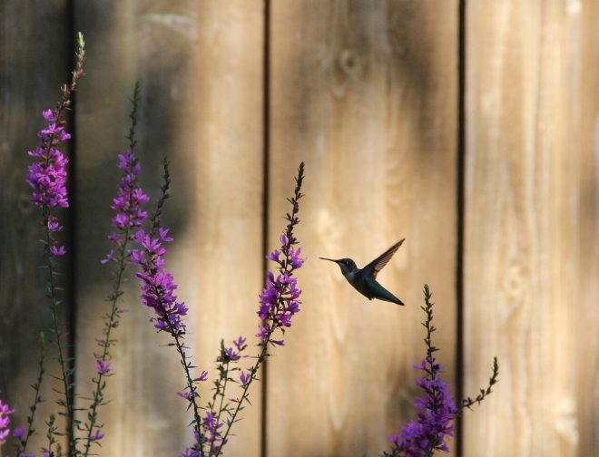 Ruby-throated hummingbirds are abundant through the summer and early autumn.