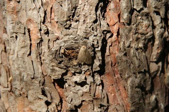 A web moth rests on the trunk of a red pine.