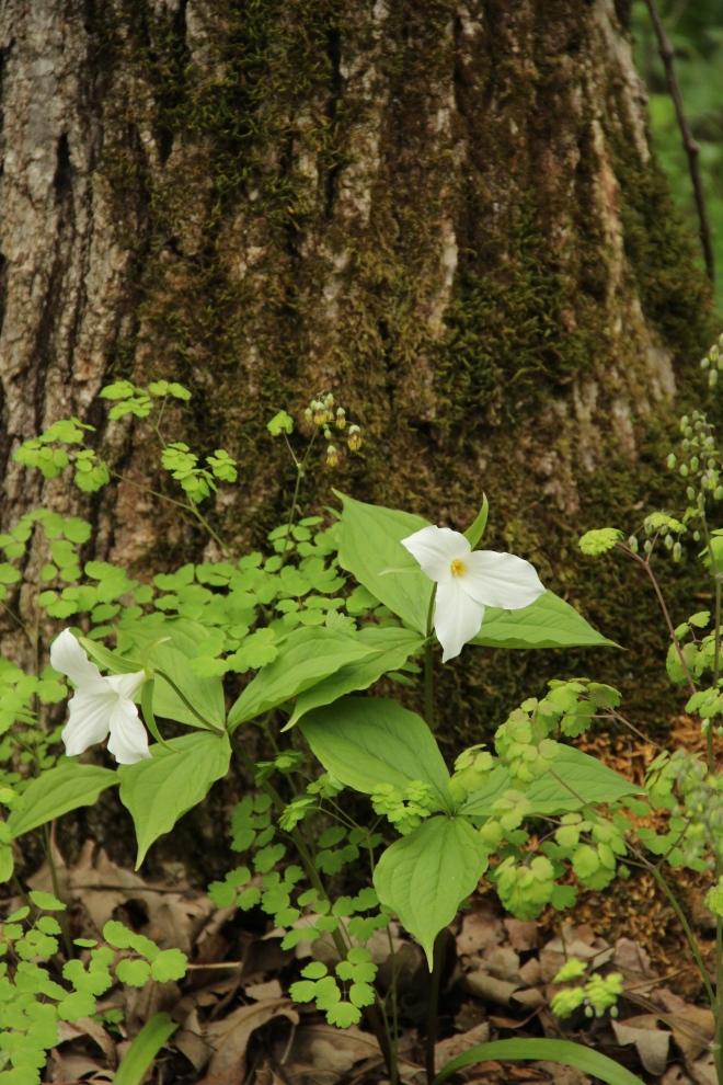 Trillium grandiflorum blooms at the base of a burr oak.
