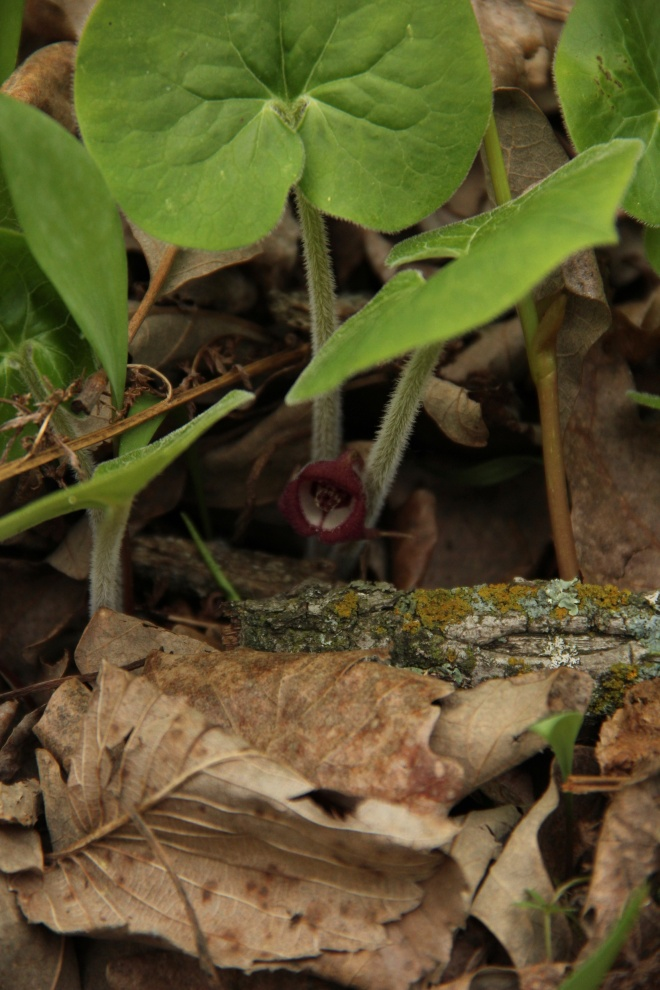 The maroon blossoms of Canadian wild ginger (Asarum canadense) lie hidden beneath its leaves.