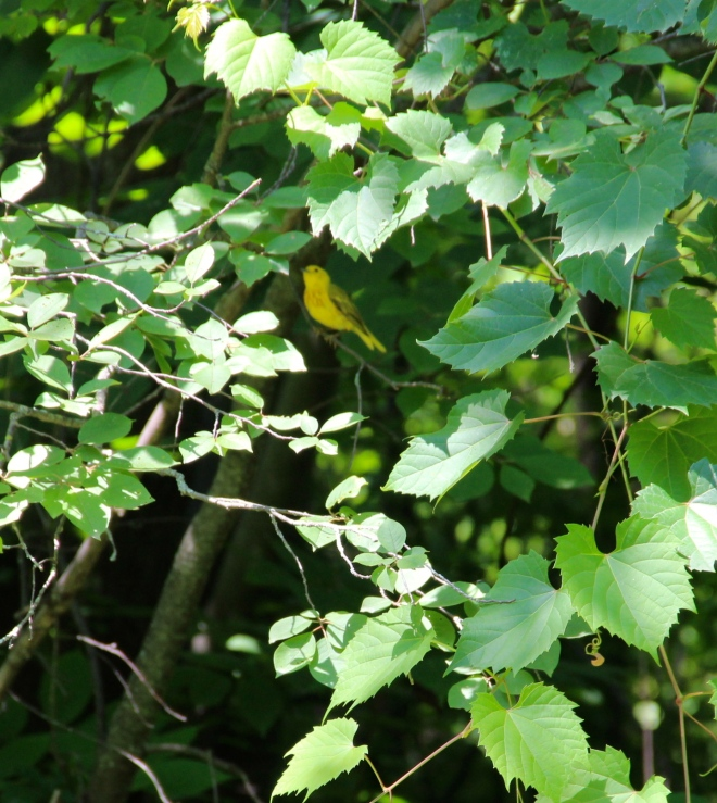 Yellow warblers are one of the most visible and vocal of our warbler species.