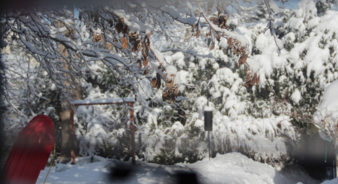 Fresh snow blankets white cedars in our backyard.