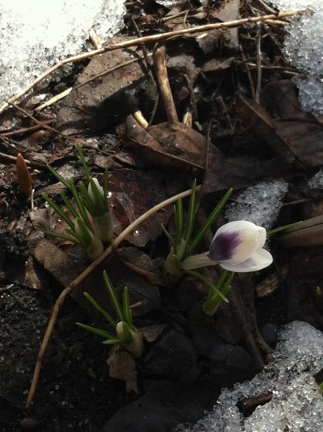 In 2013, our first crocus bloomed on April 20th in our north-facing garden).  It is
