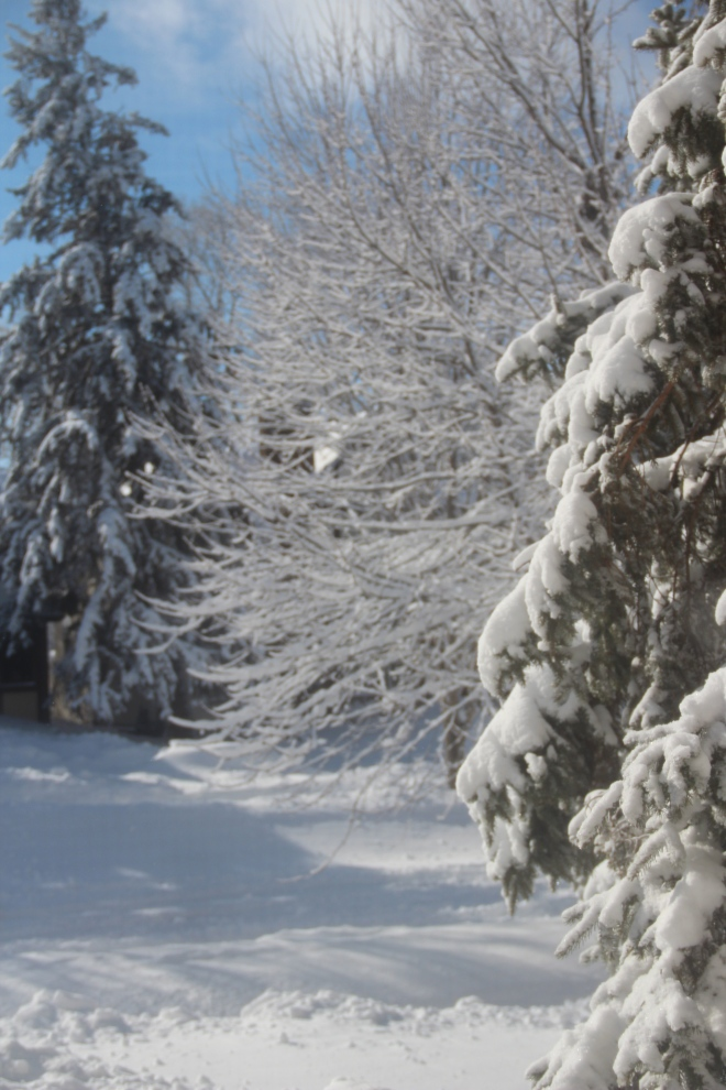 Ice and snow cover black spruce and a red maple in our front yard.