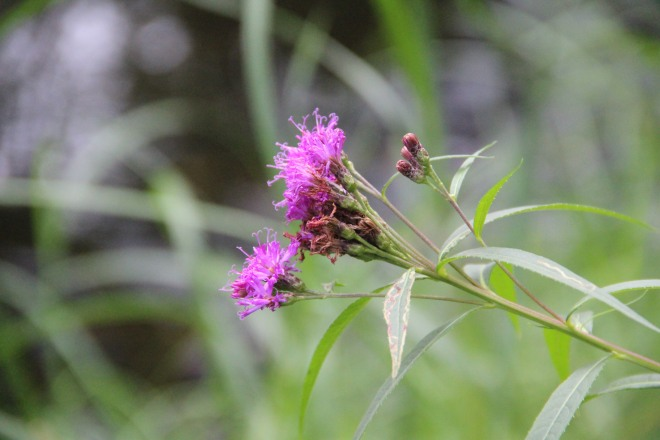 Vernonia fasciculata also know as smooth ironweed and prairie ironweed.