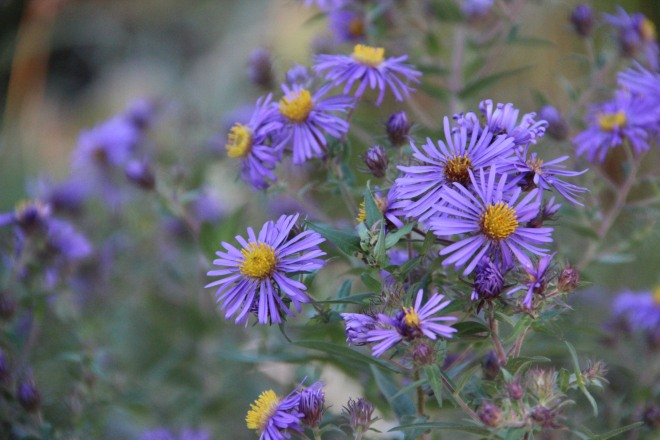 New England aster also known as Michaelmas Daisy (Symphyotrichum novae-angliae).