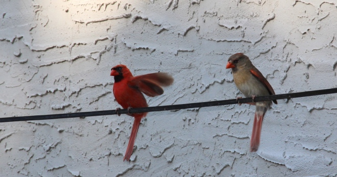 This cardinal pair has nested in our hedge for the past two summers.