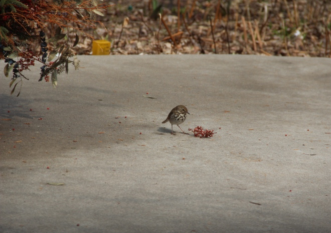 A hermit thrush eats berries from our patio planter.