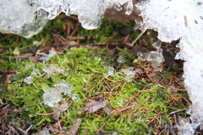Melting snow waters and revives a tiny patch of moss.
