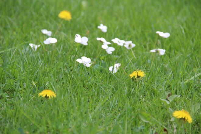 Canada violets (Viola canadensis) and dandelions (Taraxacum officinale).