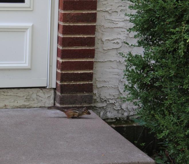 Eastern chipmunks (Tamias striatus) are out of their dens.
