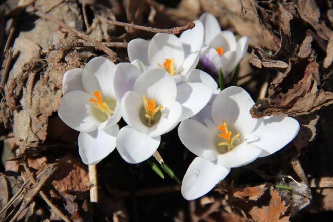 Crocus blossoms (Crocus spp 'ladykiller')