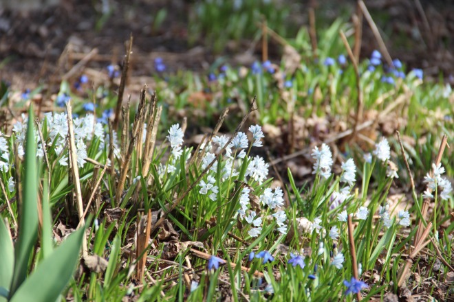 A patch of striped squill and Siberian squill in our garden.