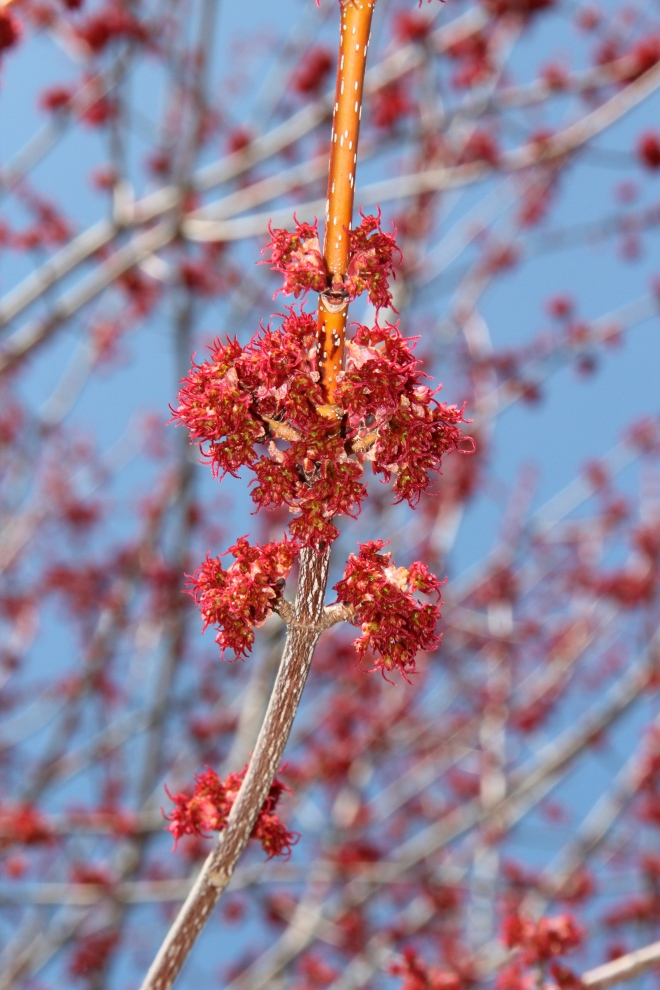Red Maple Flowers (Acer rubra).