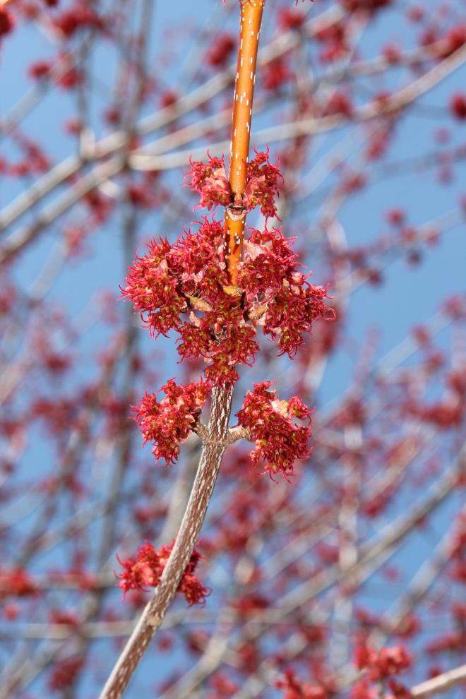 Red Maple Flowers (Acer rubra).