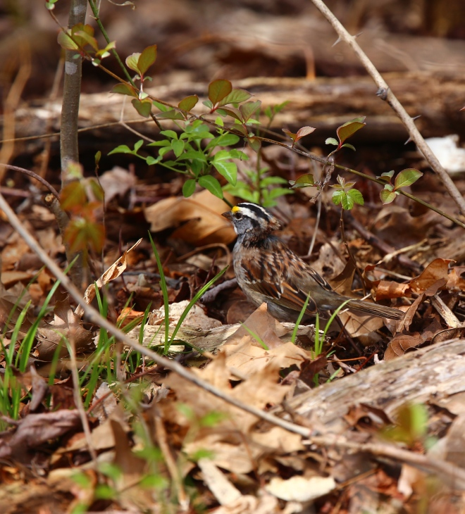 White-throated Sparrow (Zonotrichia albicollis) © T.M. Murray 2014; used with permission.