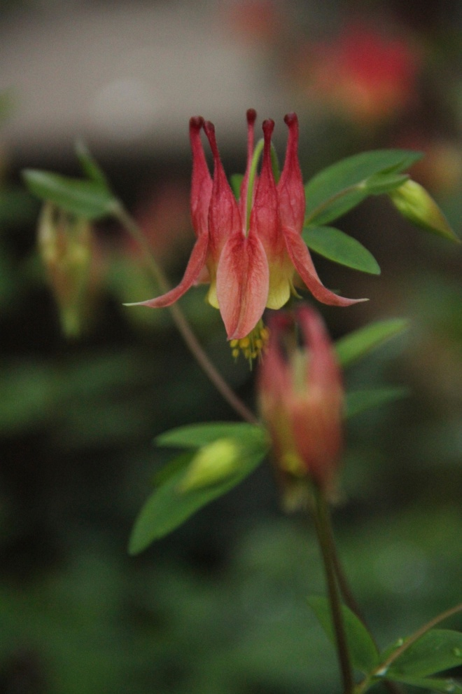 Canada columbine (Aquilegia canadensis) is native to eastern North America.