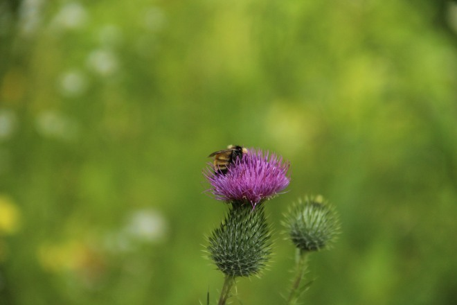 European bull thistle with bumble bee.