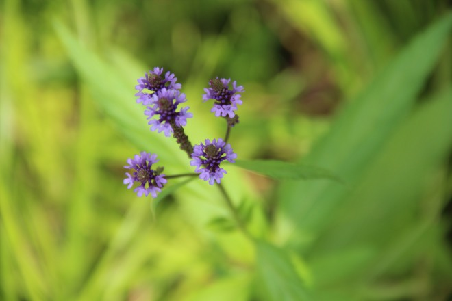 Swamp or blue vervain prefers moist, loamy soil and lots of sun.