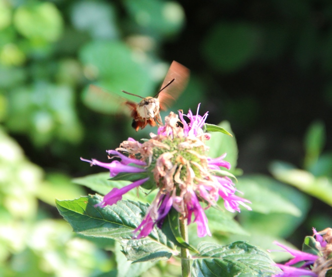 Clearwing hummingbird moths are white underneath and have pale-colored legs.