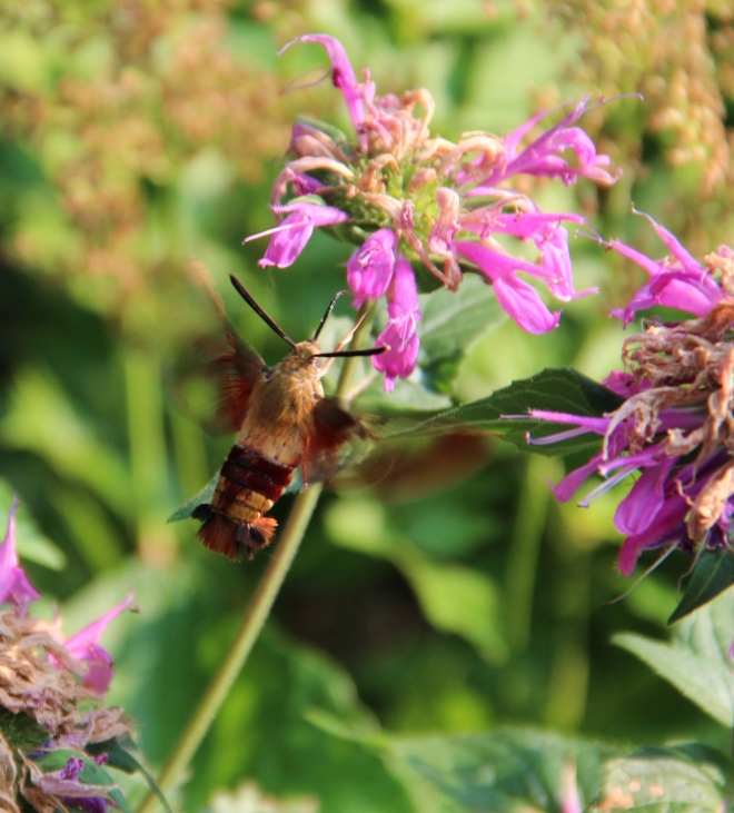 Clearwing hummingbird moths favor native monarda in our garden.