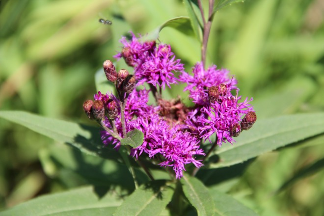 Priarie or western ironweed (Vernonia fasiculata).
