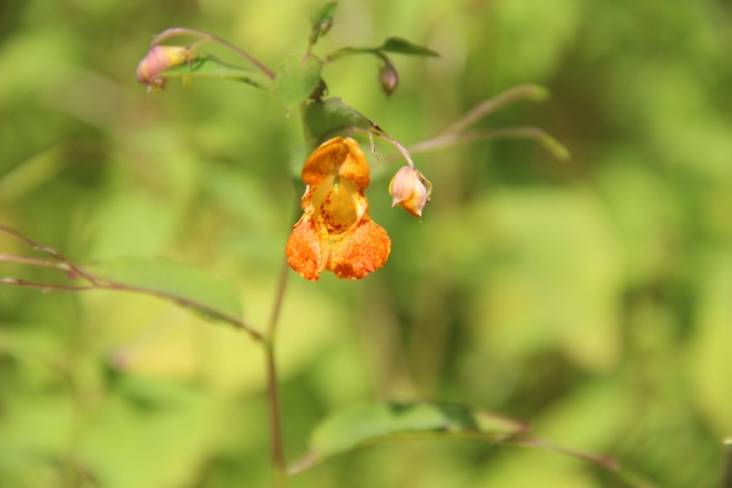 Jewelweed or spotted touch-me-not grows in moist, sunny spots.
