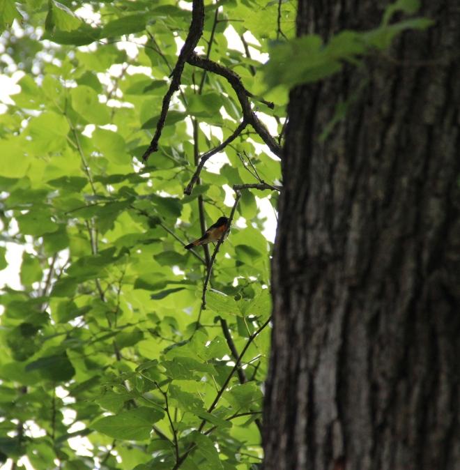 Male American redstart warbler.