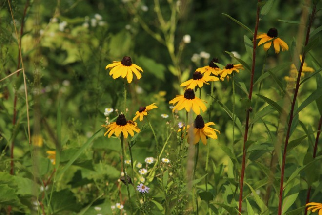 Brown-eyed Susan's and a few early-blooming asters.