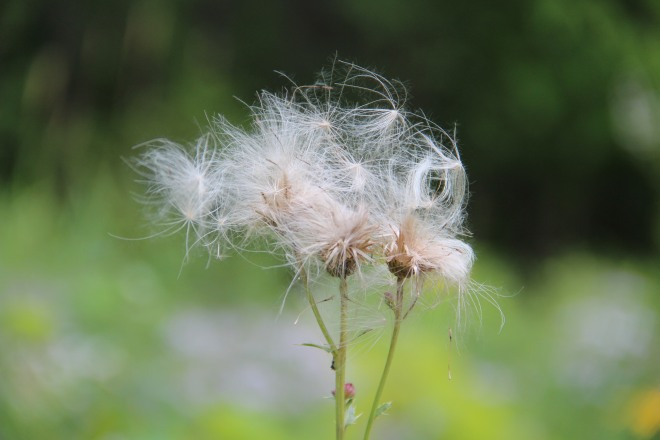 """The field thistle's """"down"""" is used by American goldfinches to line its nest and the seeds are a favorite goldfinch food."""
