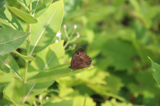 This common wood-nymph's bright eyespot caught my attention.