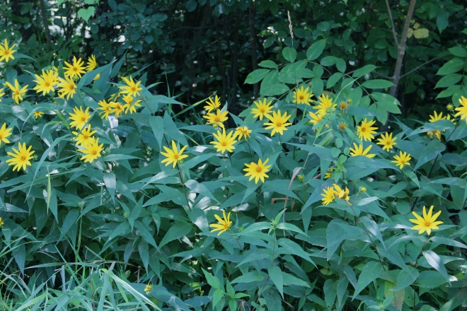 Woodland sunflowers grow in shadier patches along the road.