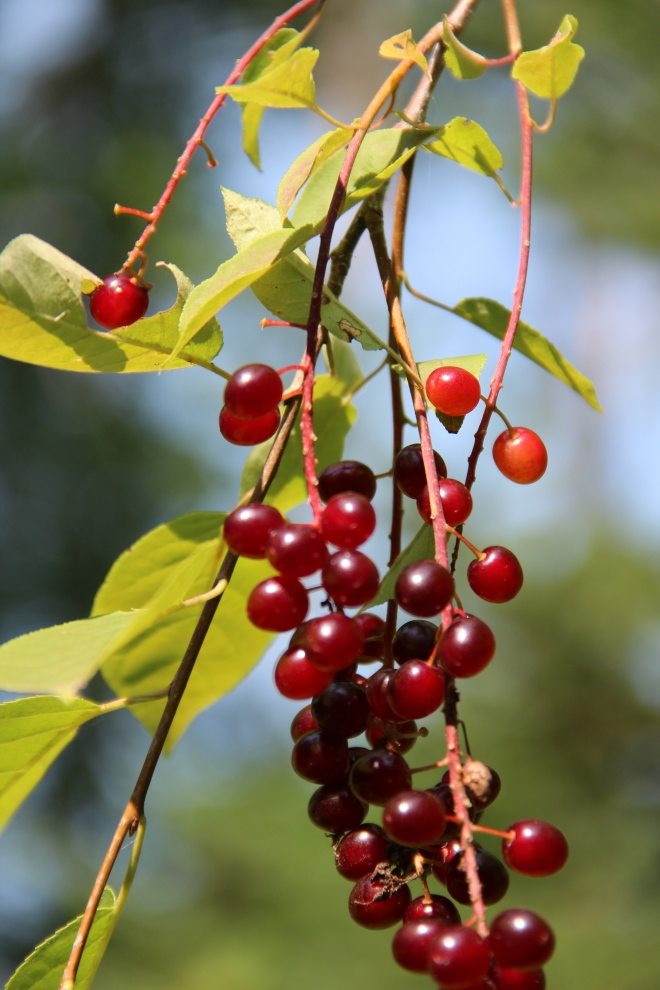 Chokecherry fruit (Prunus virginiana).