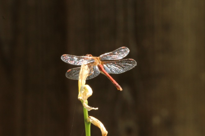 Sunlight captures the beauty of this meadowhawk's wings.  The ovipositor and the light red abdomen with faint black markings identifies it as a female autumn meadowhawk.