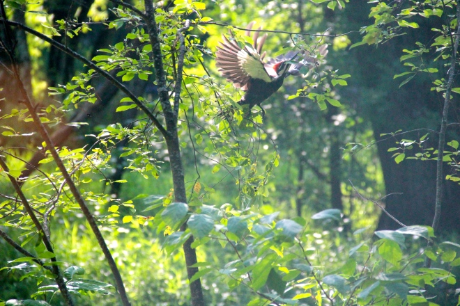 pileated1