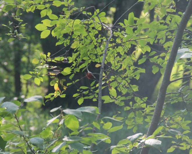 pileated3