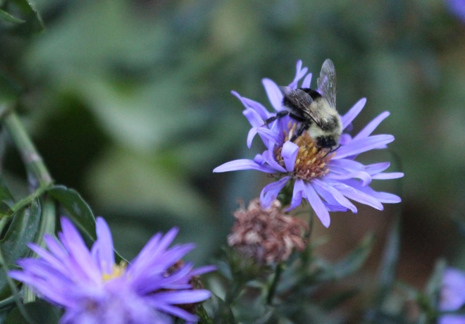 Common eastern bumble bees are active in autumn, even on cloudy, cool days.