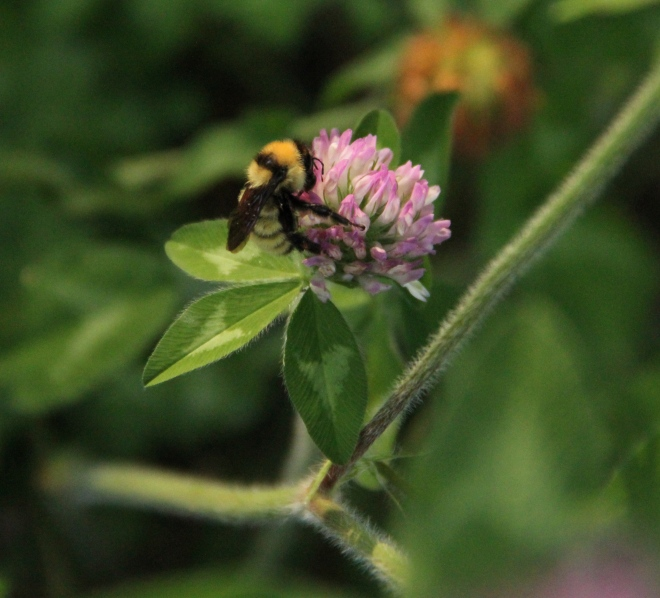 A tricolored bumble bee (Bombus ternarius) rests on red clover.