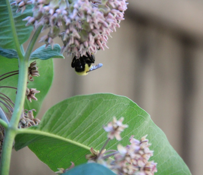 Bumble bees (Bombus) of several different species are attracted to milkweed blossoms.