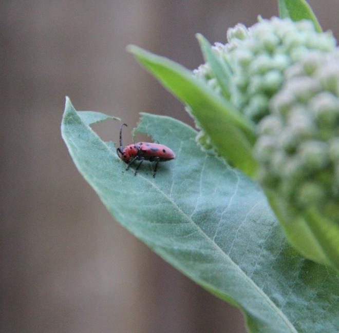 The adult red milkweed beetle (Tertaopes tetrophthalmus) eats milkweed leaves, buds and flowers.