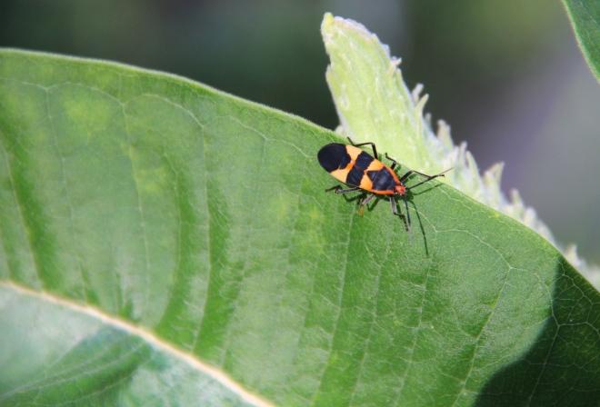 The Large Milkweed Bug (Oncopeltus fasciatus) eats the seed pods, stems and leaves of milkweed.