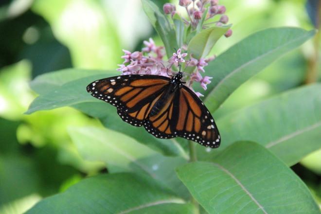 I never tire of seeing monarchs (Danaus plexipus) nectar on milkweed blossoms.