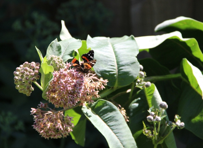 Red admiral butterflies (Vanessa atalanta) are attracted to the milkweed's nectar.