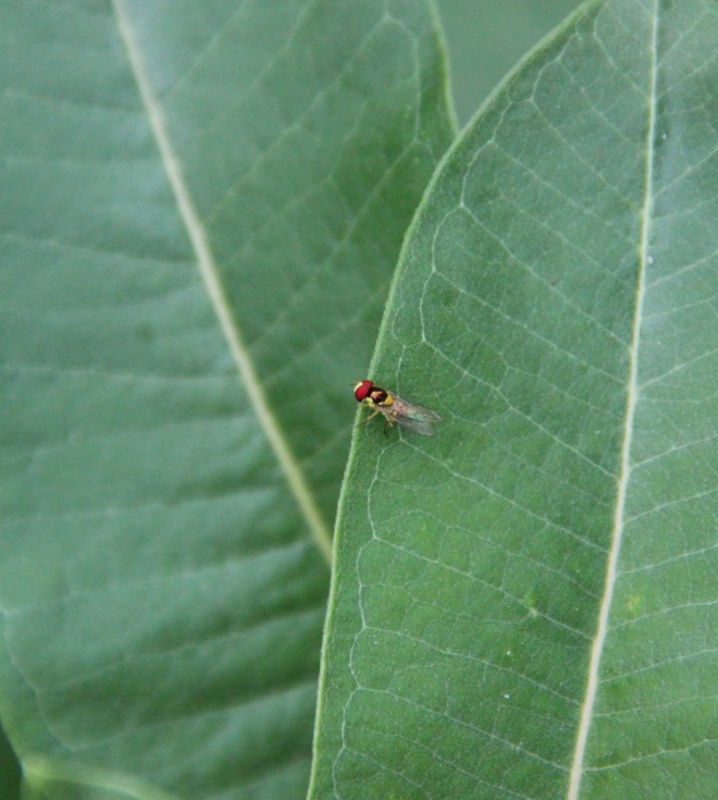 A hover fly or flower fly (Syrphidae).