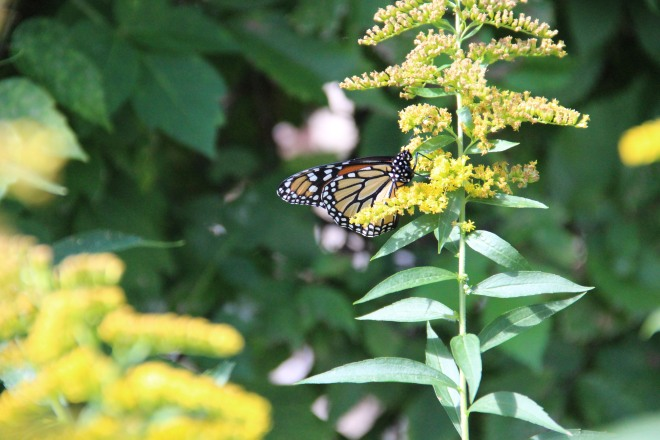 Monarch resting on one of more than 40 species of goldenrod (Solidago) native to Minnesstota.