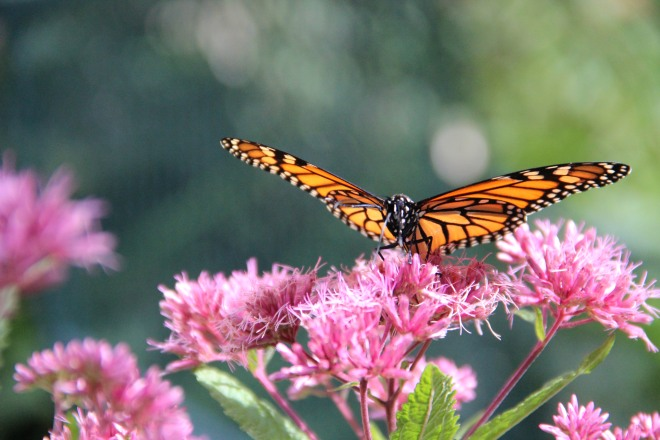 A monarch drinks nectar from sweet Joe-Pye weed.