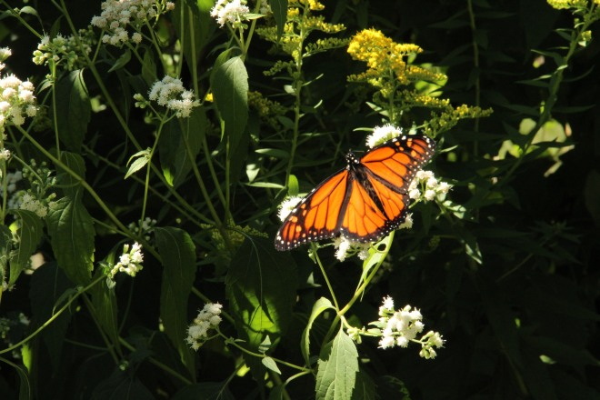 Monarch resting on white snakeroot (Ageratina altissima)