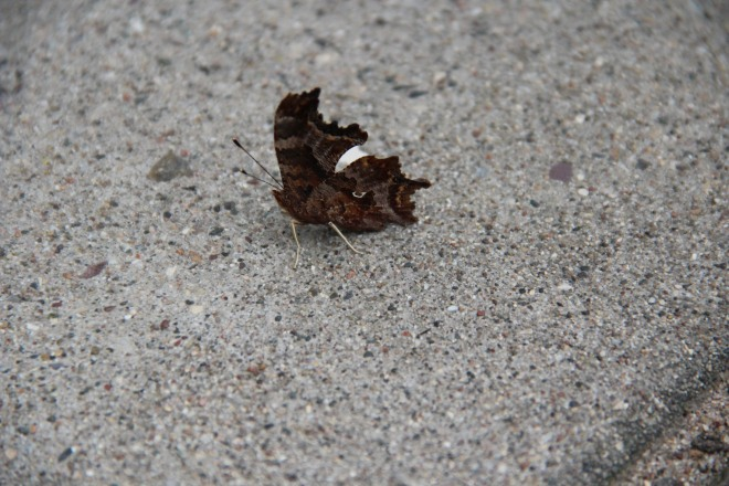 Eastern comma, October