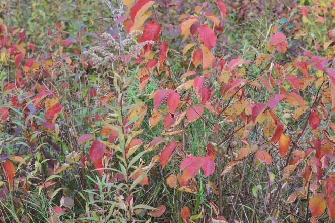 American hazelnuts, October